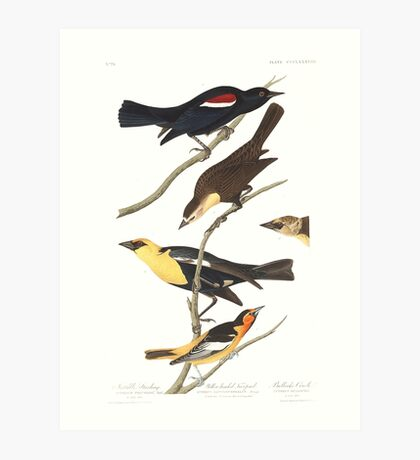Black Birds - John James Audubon  Art Print