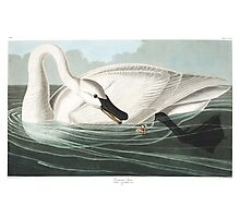 Trumpeter Swan - John James Audubon Photographic Print