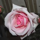 Really Pretty Pale Pink Rose by KazM