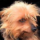 Redhead Terrier.   Dorset UK by lynn carter