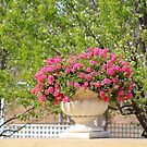 Potted Geraniums by Sharon Brown