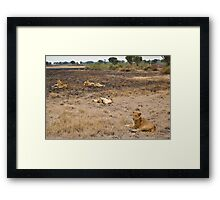 lions in the African bush Framed Print