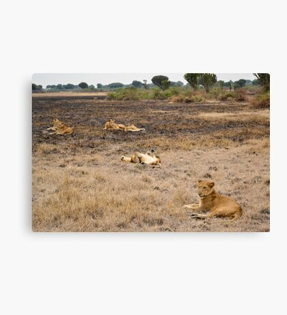 lions in the African bush Canvas Print