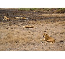 lions in the African bush Photographic Print