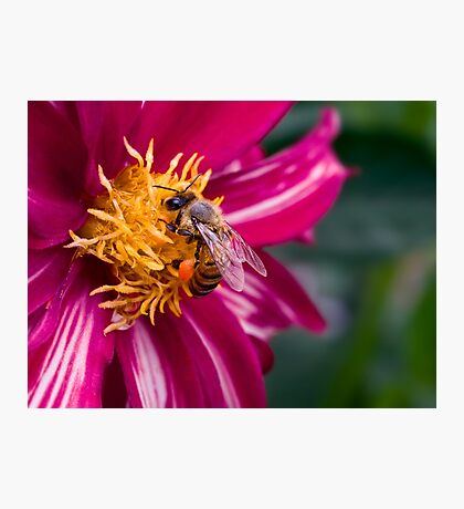 Bee-licious dahlia Photographic Print