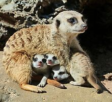 Baby Meerkats View The World by Margaret Saheed