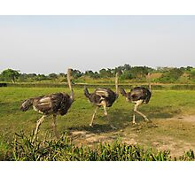 ostrich in the african savanna Photographic Print