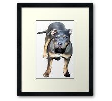 YOUNG PIT BULL PUP Framed Print