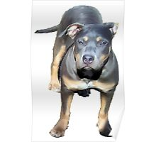 YOUNG PIT BULL PUP Poster