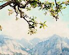 Apple Blossoms and Mountains  by BrookeRyanPhoto