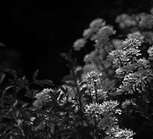 Edelweiss Flowers by Moonlight in Black and White by BrookeRyanPhoto