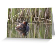 A Little Grebe (Tachybaptus ruficollis) adult in front of a reedbed. Greeting Card