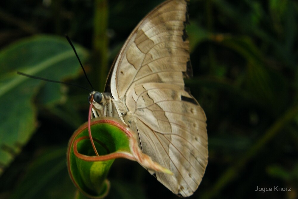 Butterfly by Joyce Knorz
