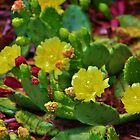 Prickly Pear Cactus by Cynthia48