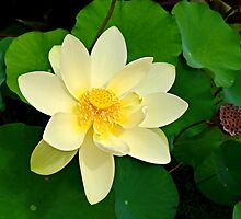 The Lotus Blossom by Scott Mitchell