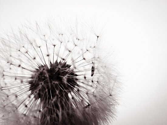 Dandelion Seed Stand by vivendulies