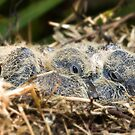 Dove chicks 001 by kevin chippindall