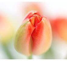 Fresh Tulips (Triptych....) by Bob Daalder