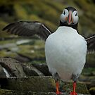 Puffin - Farne Island, Northumbria by Marilyn Harris