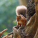 Red Squirrel Backlit by Sue Robinson