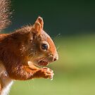 Red Squirrel with Hazelnut by Sue Robinson