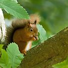 Red Squirrel in Chestnut Tree by Sue Robinson