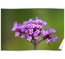 Verbena Bonariensis flowerhead Poster