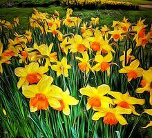 Daffodils by AndyHuntley