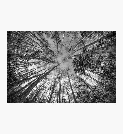 Soaring Cypress Photographic Print