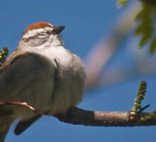 Chipping Sparrow Sticker