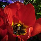 Red Tulip at Tesselaar Victoria Australia 20160923 7569  by Fred Mitchell