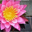 Pink Lotus Flower - Zen Art By Sharon Cummings by Sharon Cummings