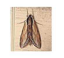Laurel Sphinx Moth - Sphinx kalmiae Photographic Print
