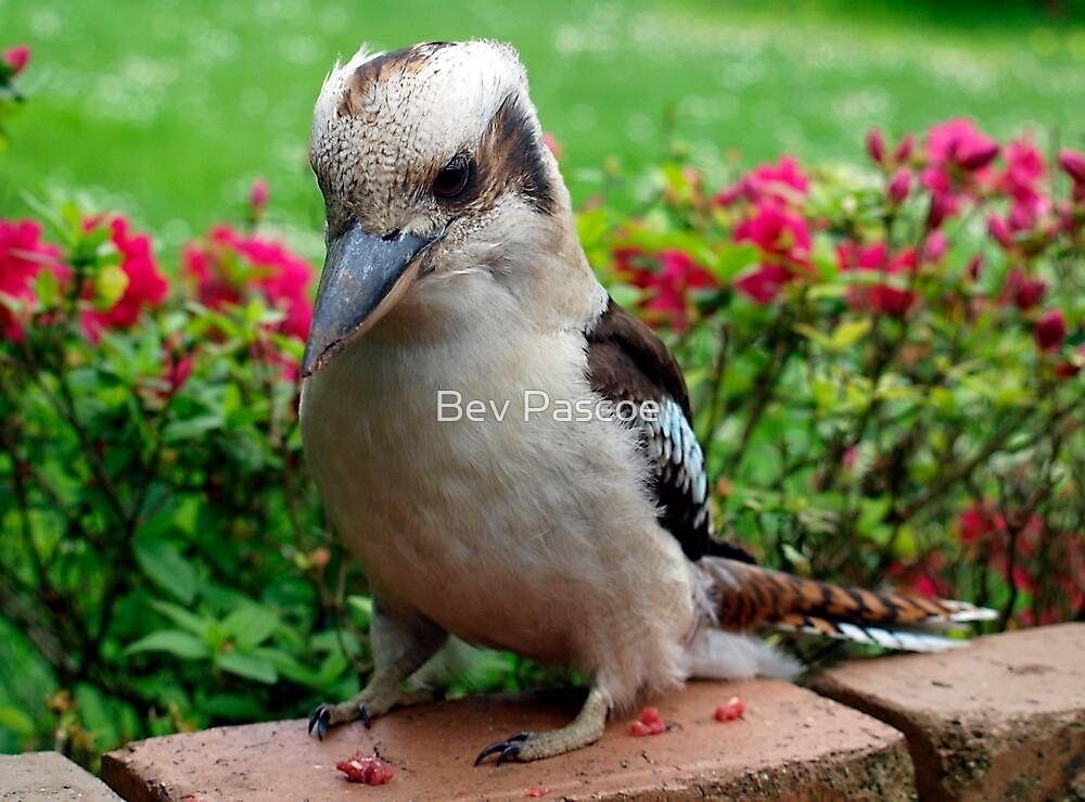 Kookaburra visiting by Bev Pascoe