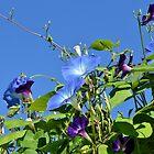 We Rival the Sky in Blueness by RoyceRocks