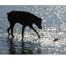 Doberman Silhouette Photographic Print