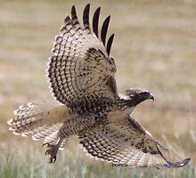 Wild Oregon Hawk  by mrsroadrunner