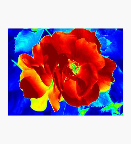 Warm Rose Has The Blues Photographic Print