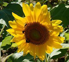 SOLITARY SUNFLOWER by pjm286