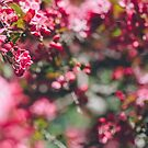blossoms by karenanderson