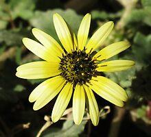 Backyard Dandelion  by Cindy Hitch