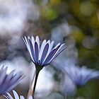 daisies by Glenda Williams