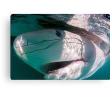 Researchers are tagging a sandbar shark (Carcharhinus plumbeus)  Canvas Print