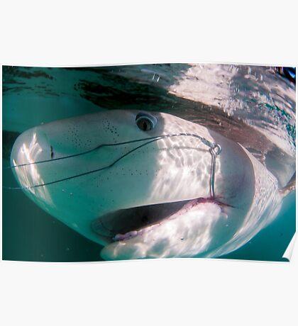 Researchers are tagging a sandbar shark (Carcharhinus plumbeus)  Poster