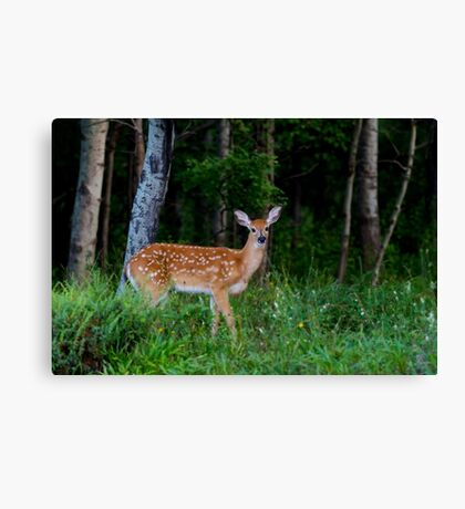 White-tailed fawn in the forest Canvas Print
