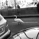Swan in traffic. Dublin by Esther  Moliné