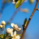 Blossom by AllanDavisJr