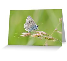 Male Common Blue butterfly (Polyommatus icarus) perched on a grass stem. Greeting Card