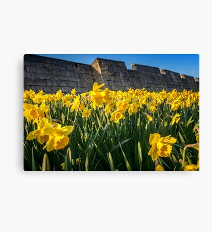 York Walls Daffodils  Canvas Print
