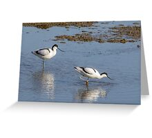 Pair of Pied avocets (Recurvirostra avosetta) foraging in the shallows. Greeting Card